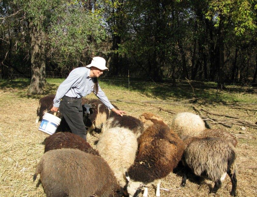 nancy-sheep
